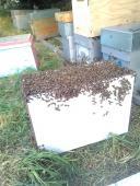 Transfert d'essaim dans votre ruche