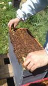 ESSAIM d'ABEILLE NOIRE Hiverné, dispo avril, en Normandie ( calvados, Orne, Manche ) vente d'essaims d'abeilles ou de ruches peuplées, prix d'essaims dégréssifs
