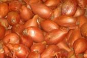 Echalote Bio melkior>plant,semence echalotte>poire-cuisse poulet-grise