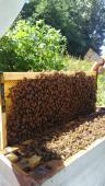 ESSAIM Buckfast Hivernée à VENDRE en Normandie - ACHAT D'ESSAIMS D'ABEILLES -Apiculture en Normandie, élevage d'abeille buck fast  dans le Calvados l'Orne ou la Manche, à Caen ou Falaise