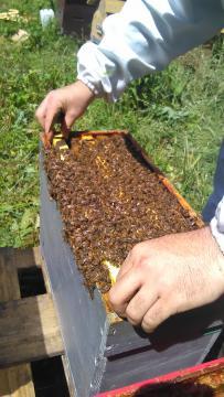 ESSAIM d'ABEILLE NOIRE, en Normandie ( calvados, Orne, Manche ) vente d'essaims d'abeilles ou de ruches peuplées, prix d'essaims dégréssifs