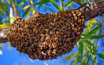 ESSAIM à VENDRE en Normandie - ACHAT D'ESSAIMS D'ABEILLES -Apiculture en Normandie, élevage d'abeille noires ou buck fast dans le Calvados l'Orne ou la Manche, à Caen ou Falaise